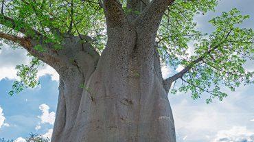 BAOBAB TREE, SOUTH LUANGWA NATIONAL PARK